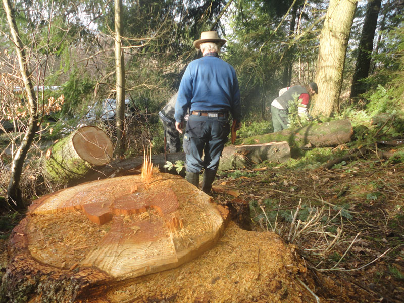 Felling the trees for the roundwood timber frame home.